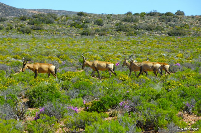 Impalas in a field of flowers
